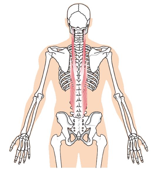 腰に関連する筋肉のイラスト|南区