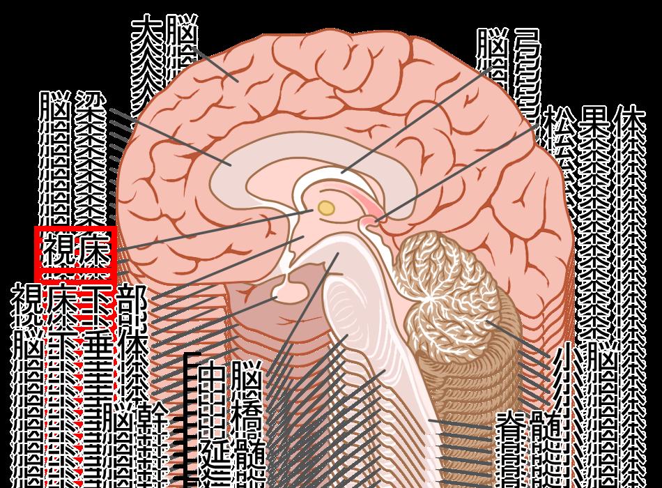 脳と視床のイラスト|緑区