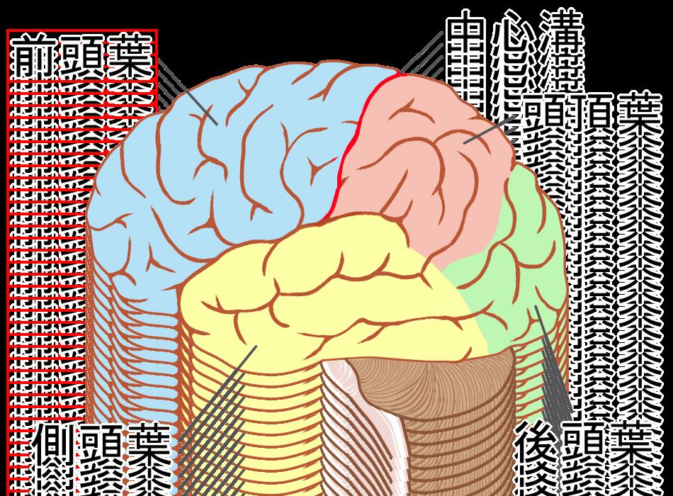 脳と前頭葉のイラスト|桜通線