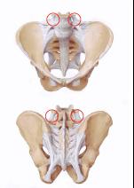 骨盤の靭帯群の画像|天白区